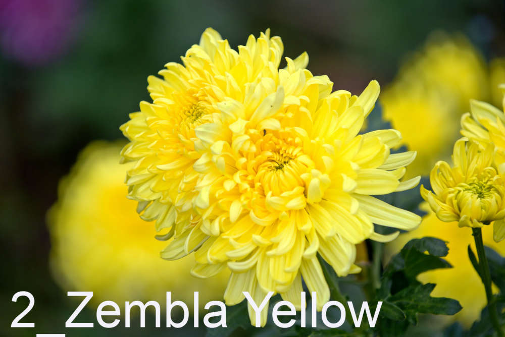 002 Zembla Yellow___