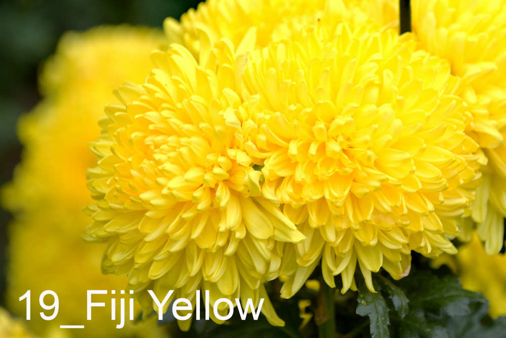 019 Fiji Yellow__