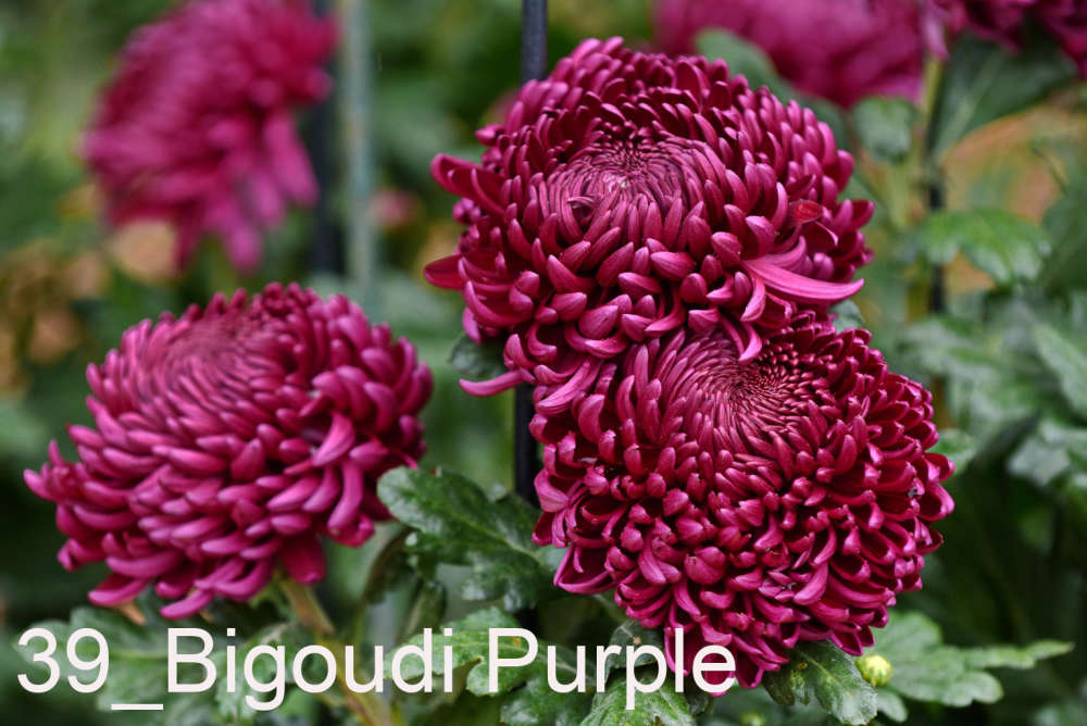 039 Bigoudi Purple__
