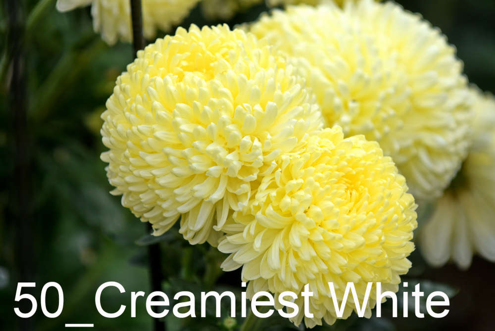050 Creamiest White__