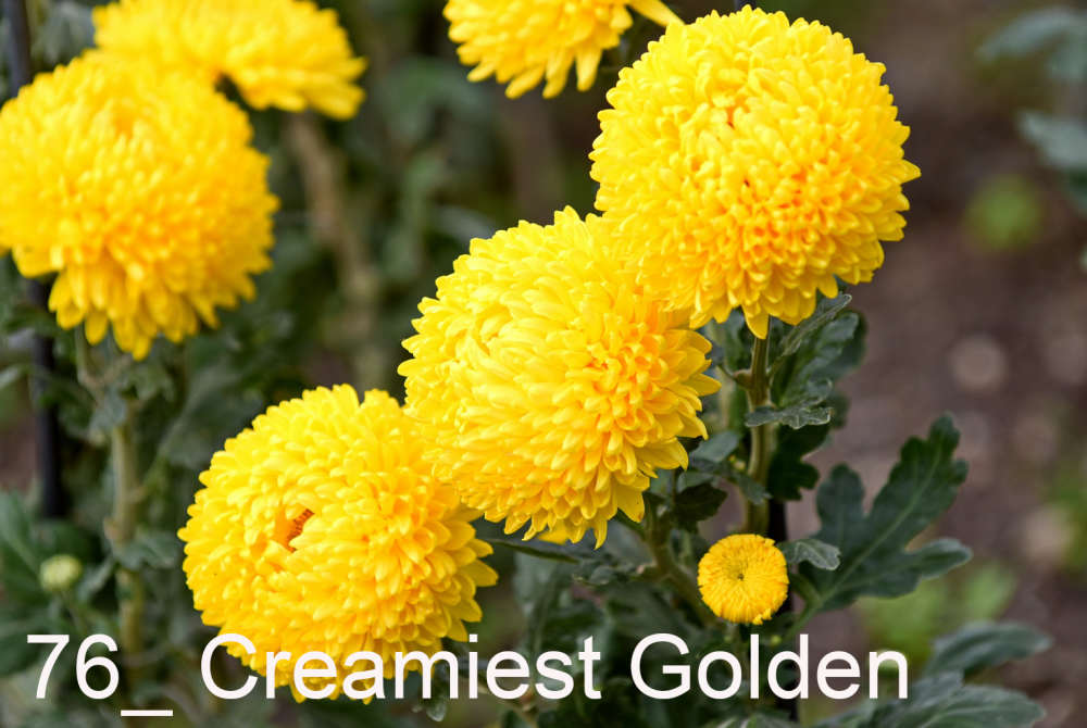 076 Creamiest Golden__